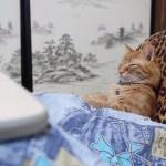 コタツにあたり眠るトラ猫、ヒョウ柄座椅子がよく似合う