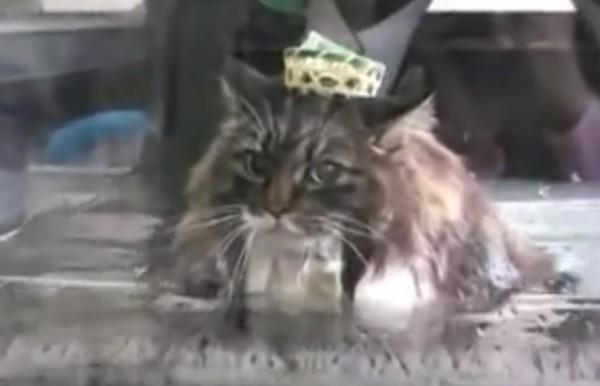 150221dietcat 600x386 - 温泉気分のウォーキング猫、約1年で2kgの減量に成功