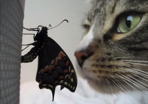 150307butterflywithcat 600x422 - 蝶々の羽に鼻を寄す猫、羽化の様子をそっと見守る