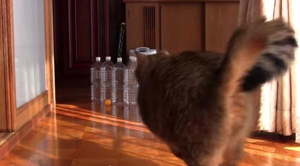 150317catboring 600x333 - ピンポン球×ペットボトル×猫で、ボーリングが楽しめると判明