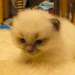 眠気に耐えるモフモフ子猫、力及ばず毛布に沈む