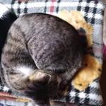 仲良く寄り添い眠る猫、犬仲良しと対照的に