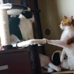 ケンカを止めてと吠える猫、その勢いで自らも参戦