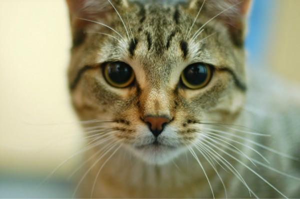 150416cat 600x399 - 本日の美人猫vol.130