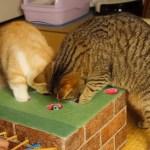お手製オモチャに対面する猫、二匹同時に穴へ攻め入る