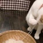 夏を先取る素麺猫、パクチー要らぬと茶を所望