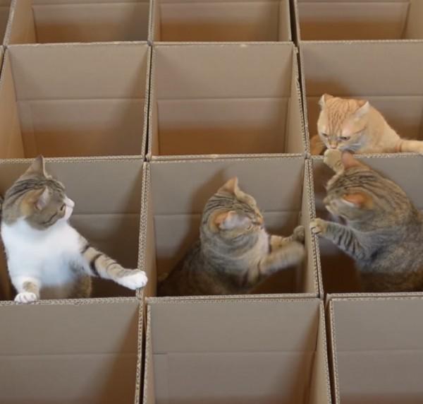 150527cat 600x572 - 段ボールの宮殿に遊ぶ猫、隣を覗けばやはり猫