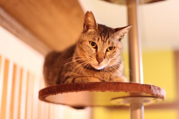 ネコリパブリック東京、初の卒業猫・トラタロウ君