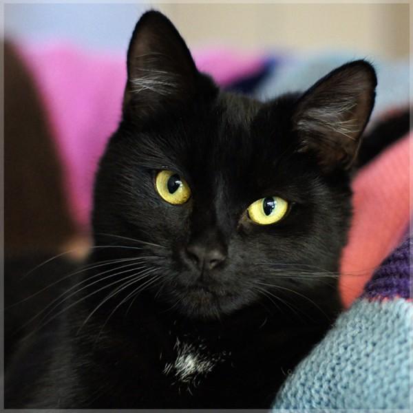 150802blakcat 600x600 - 本日の美人猫vol.147