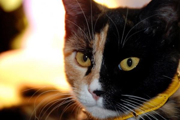 150816chimeracat 600x401 - 本日の美人猫vol.150