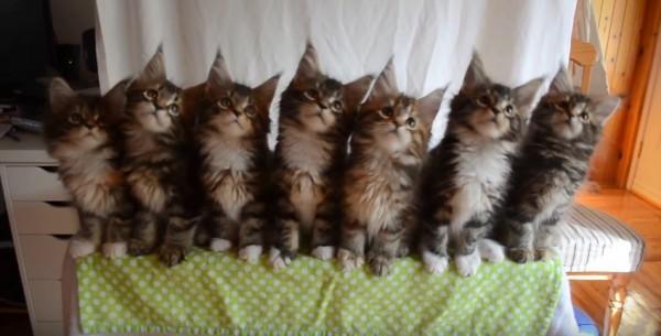 1508267cats 600x305 - 猫の子七匹シンクロす、オモチャを小さな顔で追い