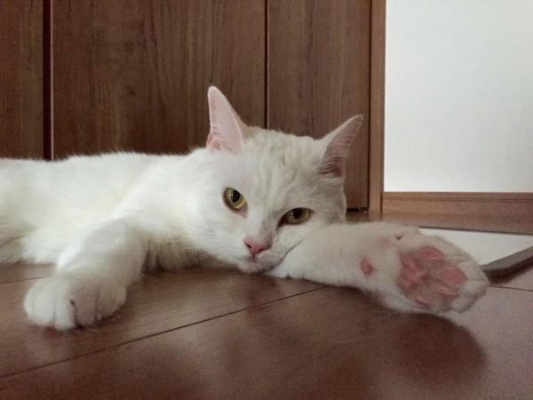 150913cat 600x450 - 本日の美人猫vol.155