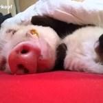 寝息を耳に添い寝する猫、豚さん撫でる肉球止めず