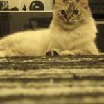 三味線の音色に合わせて歌う猫、止まった音に目を丸くする