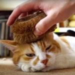 毛づくろいも一緒にできる、タワシで健康猫マッサージ