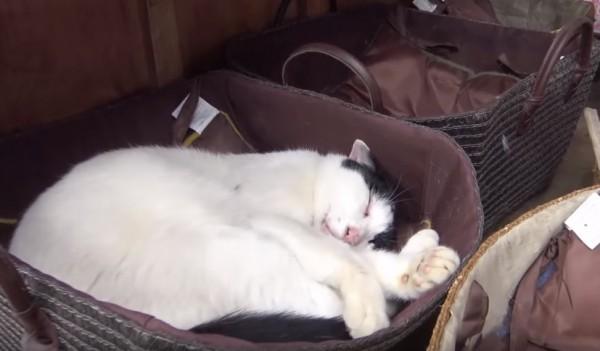 151017miyakocat 600x351 - 猫が寝転ぶ神社の境内、梅宮大社へ猫詣で