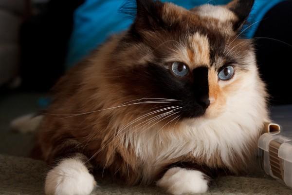 151108cat 600x400 - 本日の美人猫vol.161