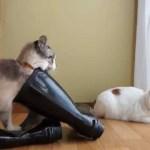 リアルに猫が長靴を履くと、長靴へ入った猫になる
