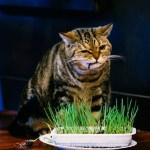 異なる種類の猫草を、比べて調べてまとめたサイト