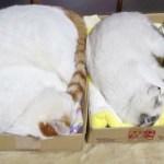 四角の箱に満ちる猫たち、一のお重と二のお重と