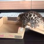素人子猫の箱動画、笑いの神が降臨す
