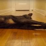 BB-8と戦う猫、転がる体に寝転び応戦