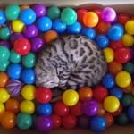 ボールのプールで遊ぶ猫、はしゃいで飛んでその場で眠る