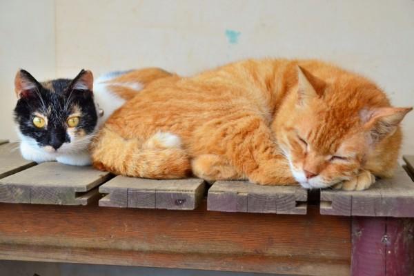 160127cats 600x400 - 猫の顔見りゃオスメスわかる、獣医師教える4つのポイント