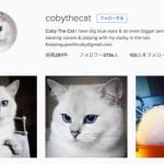 麗しの青い瞳と白フワ毛、世界クラスの美人猫
