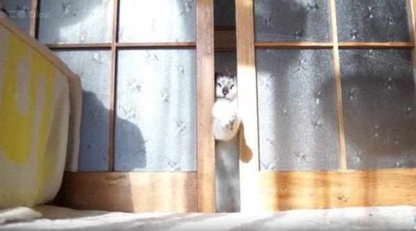 160509cat 600x334 - 前脚クロスで飛び出す猫、顔でこじ開けますます小顔に
