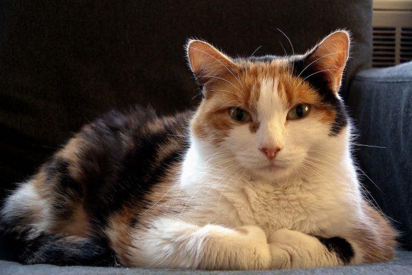 160512cat 600x400 - 本日の美人猫vol.187