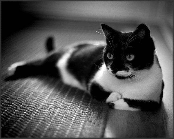 160521monochromecat 600x480 - 本日の美人猫vol.188