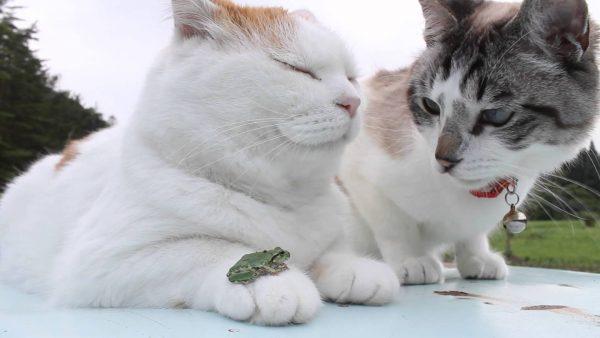 160606frogcat 600x338 - アマガエル猫の手に乗る、お隣の猫は困惑いぶかしげ