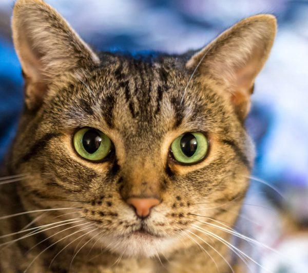 160617beautycat 600x531 - 本日の美人猫vol.192
