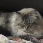 シベリア猫のミール君、その成長っぷりを動画で一気見