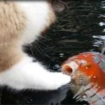 鯉との遊びに耽る猫、肉球タッチで通じ合い