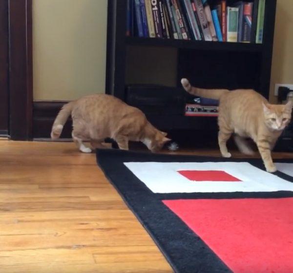 160919blindcat 600x559 - 追いかけて球を探して盲目猫、獲物はここよと猫手のアシスト