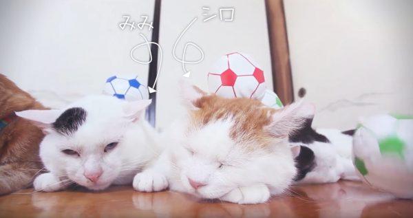 160921noseneko 600x317 - のせ猫イレブン無言でサポート、サッカーボールを頭に載せて