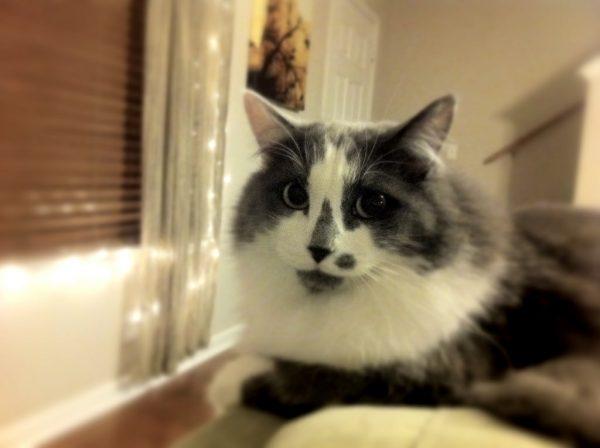 161105cat 600x448 - 本日の美人猫vol.211