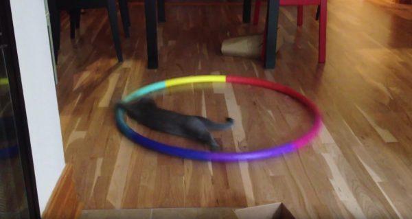 161116catloop 600x319 - 猫の遊びにフラフープ、床にあるのに駆け回り