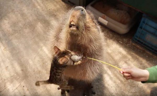 161219capybara 600x366 - 全力でじゃらしを狙うキジトラ子猫、飛び込む先はカピバラの胸