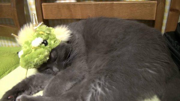 161226doragon 600x338 - 年賀状の写真のモデルになった猫、龍の姿でかわいく爆睡