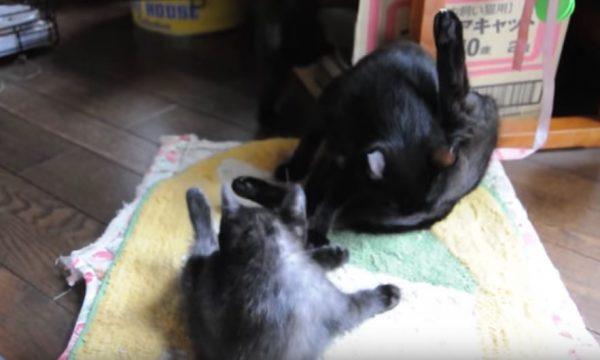 170121cats 600x360 - 母ちゃん見ながら覚える子猫、脚上げ前屈毛づくろい