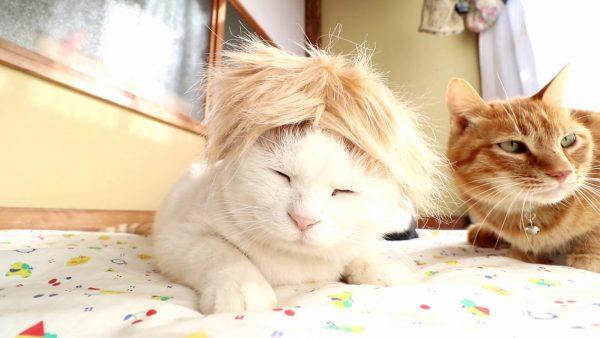 170128trumpcat 600x338 - 茶髪のカツラを頭に載せた猫、どこかの誰かに見えてくる