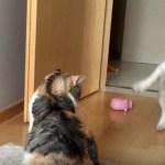 通りたいフレブル阻む見えぬ壁、縞三毛猫の塩対応