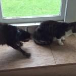 黒白猫の見えない結界、子ヤギの攻撃をシャットアウト