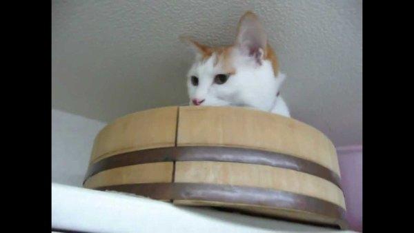 170511sushioke 600x338 - 天井近くの猫の隠れ家、見下ろせ落ちつく絶妙な狭さ