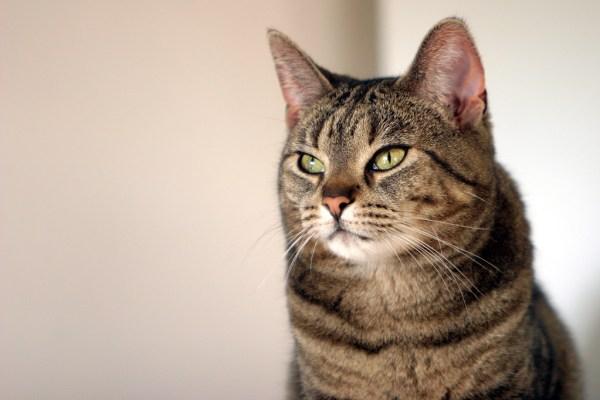 170624cat 600x400 - 本日の美人猫vol.238