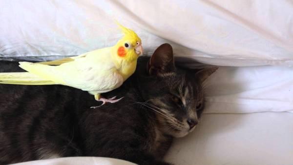 170724catandparrot 600x338 - 仲良しインコに愛される猫、お休み中は手出しご無用
