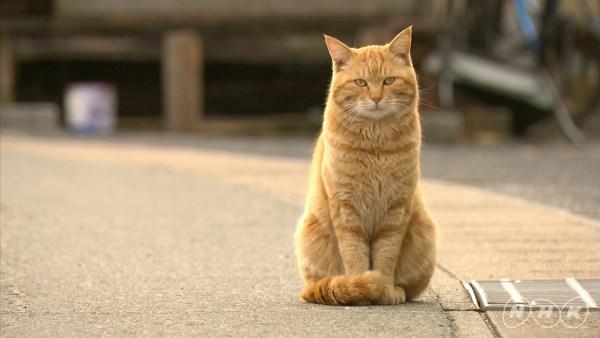 """171027Darwincat01 600x338 - 「ダーウィンが来た!」で2週連続猫大特集、""""猫視聴率""""にも期待高まる"""